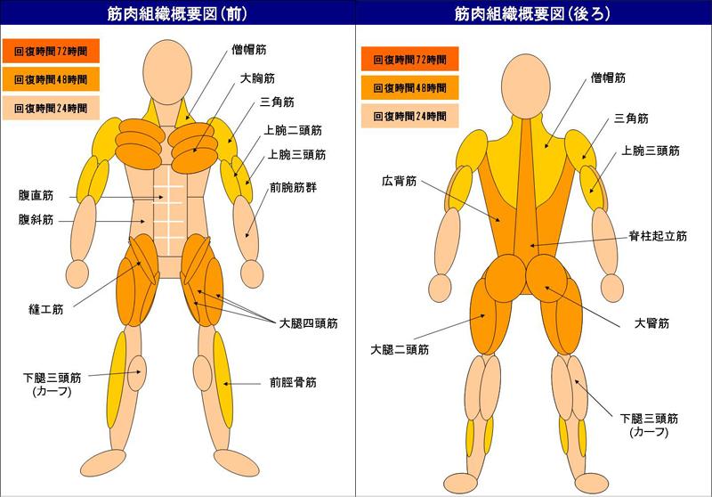 筋肉組織の回復時間