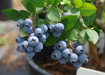 ブルーベリーの育て方(栽培)